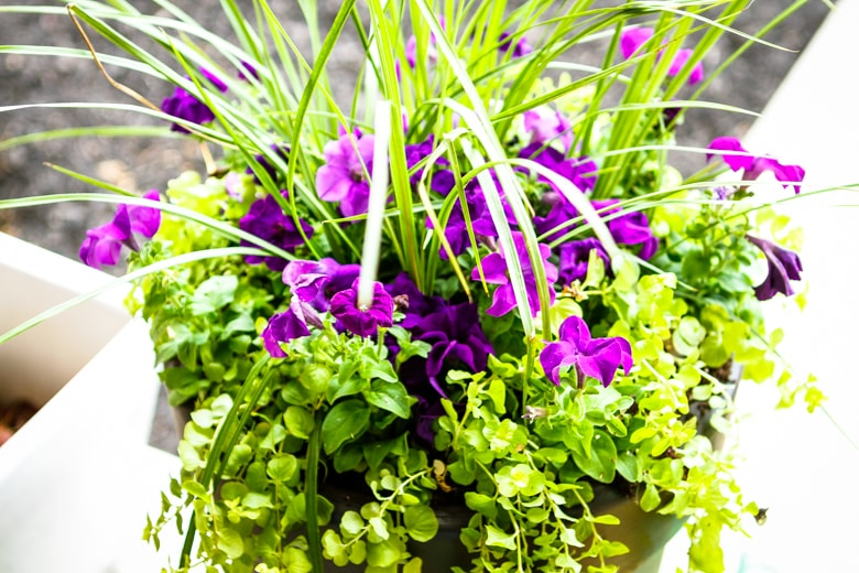 how to use the thrill fill spill method for planting flowers purple flowers planted with green foliage
