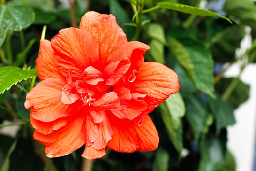Caring For Hibiscus Plants